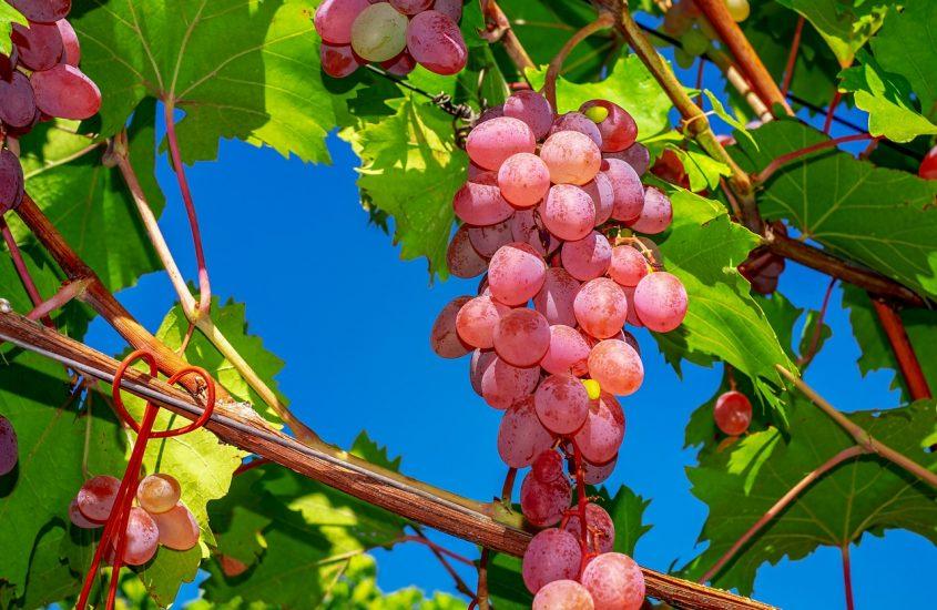 Hoe wordt rode wijn gemaakt?